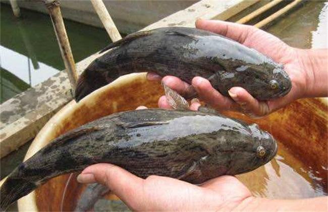 笋壳鱼 养殖技术 养殖方法