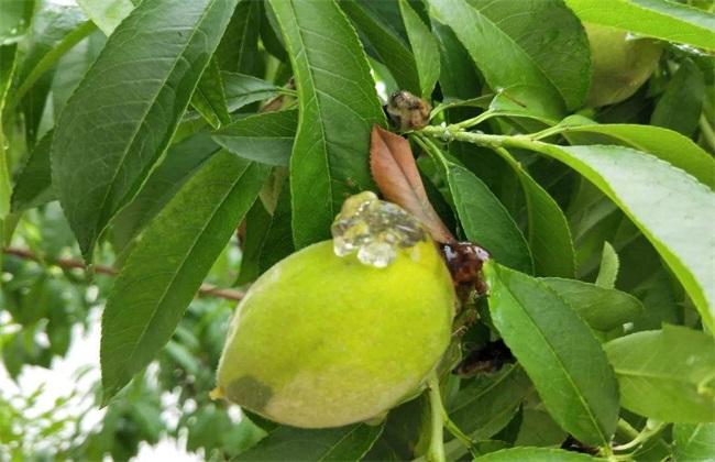 怎样防治桃树流胶病