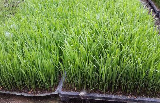 水稻的育苗移栽技术
