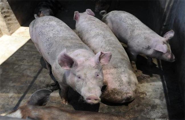 夏季猪场如何防治蚊蝇