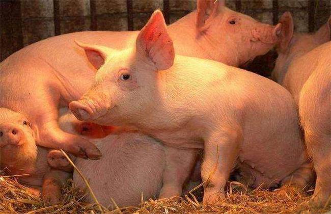夏季 猪场 如何防治蚊蝇
