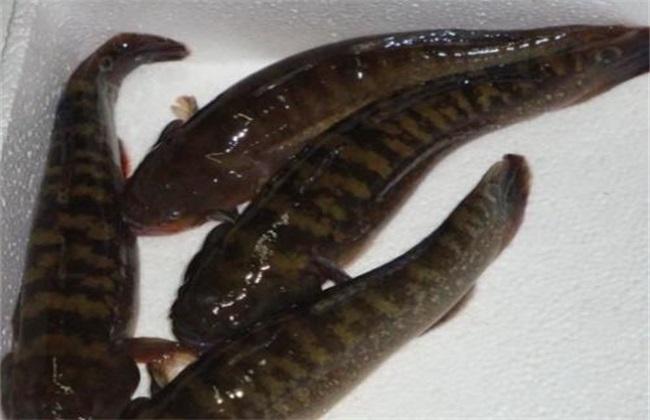 笋壳鱼多少钱一斤