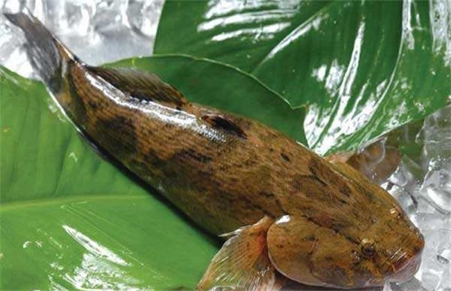 笋壳鱼人工繁殖技术