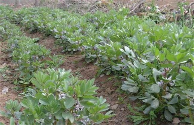 蚕豆的高产栽培技术