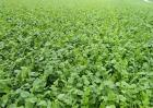 白萝卜对生长环境的要求
