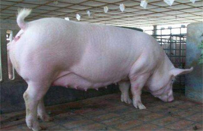 母猪配种前注意事项