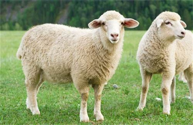 育肥羊的养殖方法