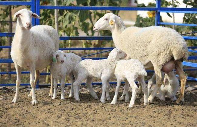 育肥羊 养殖方法 养殖管理