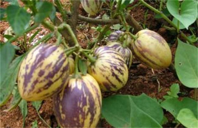 香瓜茄的种植方法