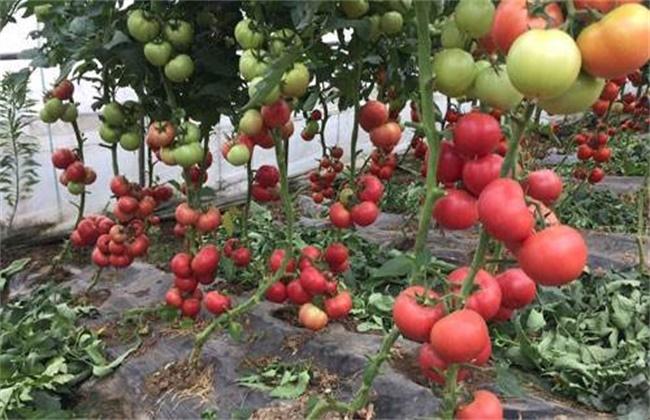 番茄转色注意事项