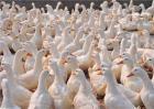 鸭子不长肉怎么办