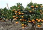 柑橘保花保果措施