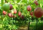 百香果种植为什么会亏本