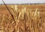 干旱地区适合种植什么