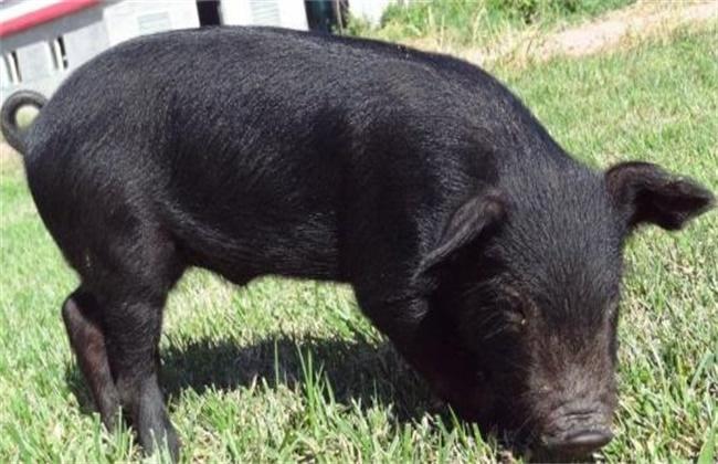 黑猪饲养管理要点