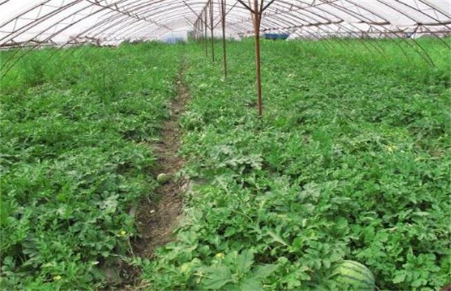 大棚种植西瓜管理技术