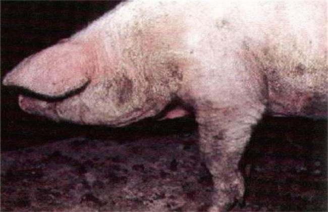 养猪常见皮肤病防治措施