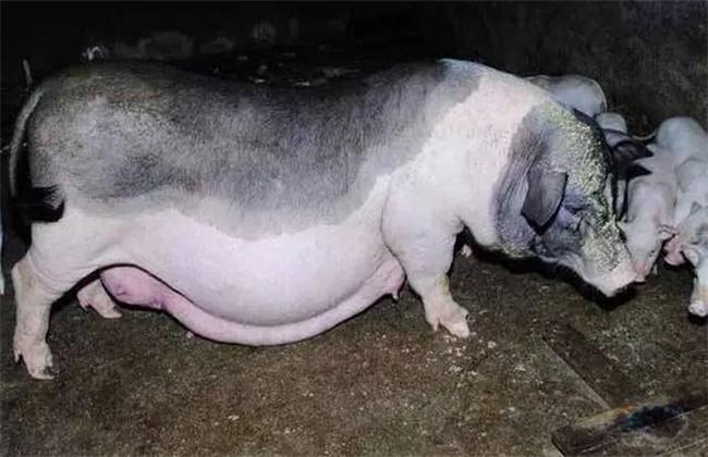 母猪不哺乳原因