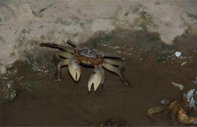 夏季 养殖河蟹 注意事项
