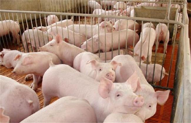 如何让生猪快速出栏