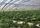 大棚黄瓜管理技术