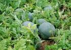 西瓜的采收与保存