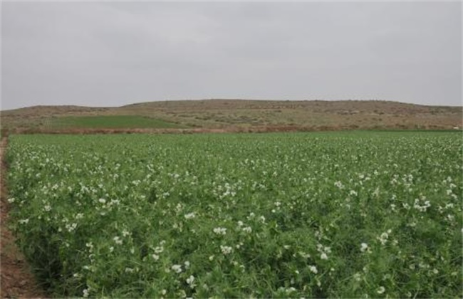 荷兰豆 栽培时间 栽培方法