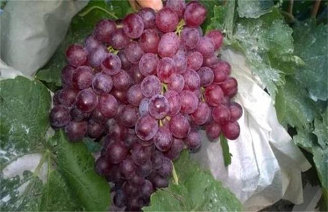 红宝石葡萄高产栽培技术