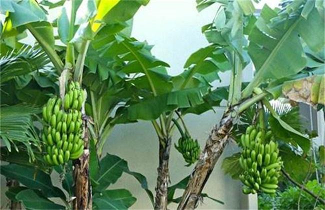 香蕉种植管理技术