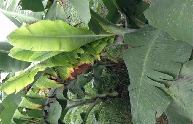 香蕉束顶病怎么防治