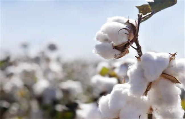 棉花 整枝方法 技术要点