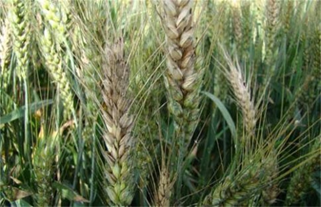 小麦赤霉病防治措施