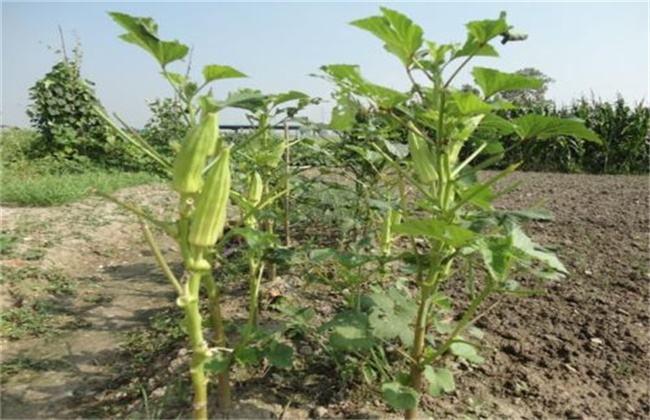 秋葵 高产 种植技术