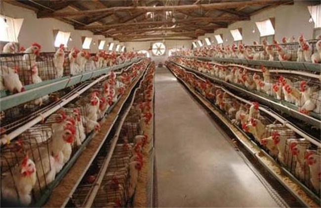 蛋鸡啄蛋原因及预防措施