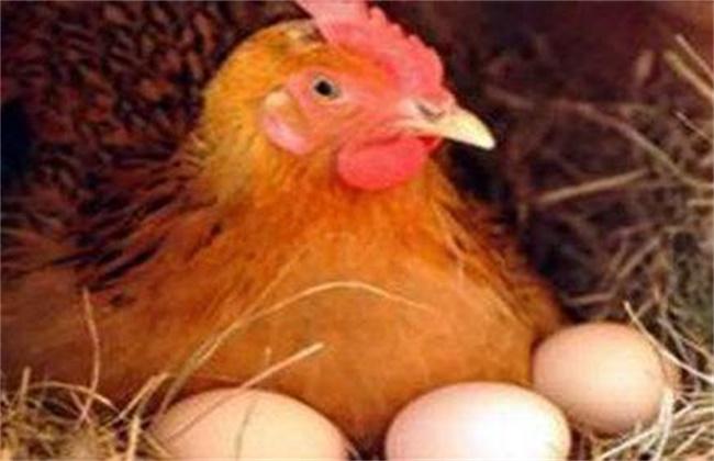 蛋鸡预混料