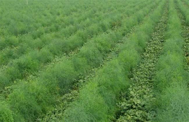 龙须菜的田间管理技术