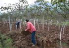猕猴桃膨大期如何施肥