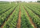草莓繁苗期管理技术