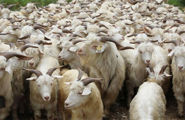 如何给羊驱虫