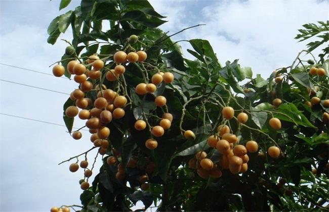 黄皮果 种植方法