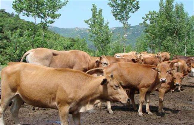 夏季黄牛饲养管理技术
