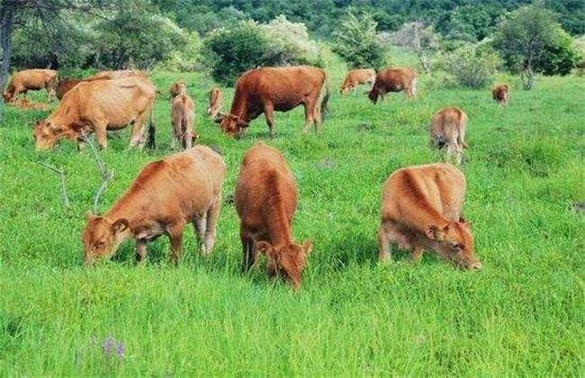 夏季黄牛饲养技术