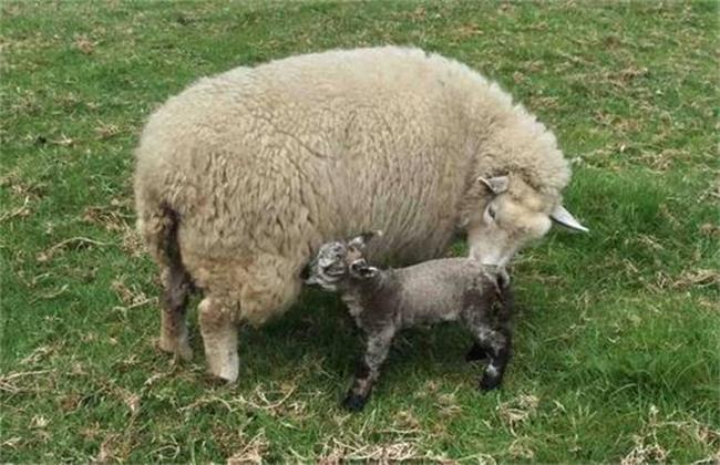 母羊产后管理要点