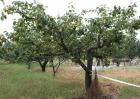 果树根外追肥的好处