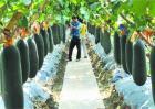 黑皮冬瓜的种植技术