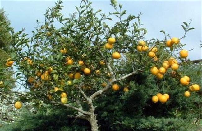 柠檬保花保果技术