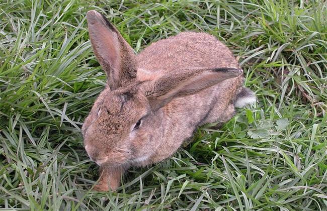 养什么兔子赚钱