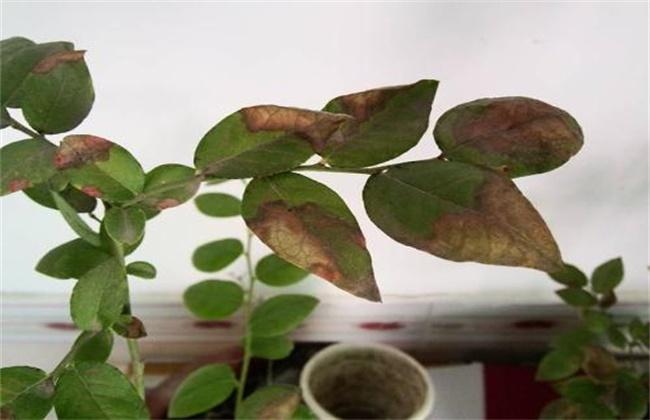蓝莓花叶病防治措施