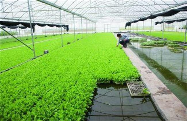 菠菜无土栽培技术
