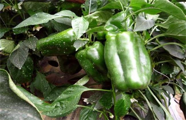 甜椒坐果率低的解决方法
